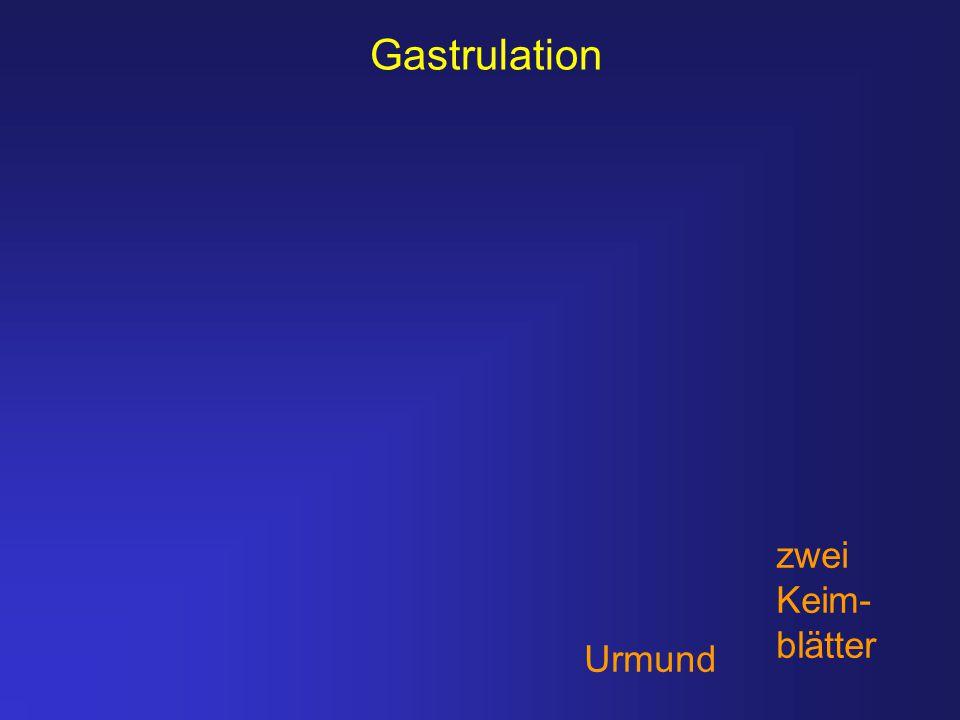 Gastrulation Urmund zwei Keim- blätter