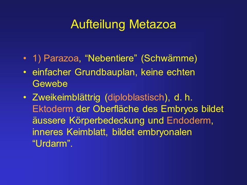 """Aufteilung Metazoa 1) Parazoa, """"Nebentiere"""" (Schwämme) einfacher Grundbauplan, keine echten Gewebe Zweikeimblättrig (diploblastisch), d. h. Ektoderm d"""