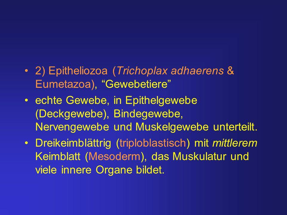 """2) Epitheliozoa (Trichoplax adhaerens & Eumetazoa), """"Gewebetiere"""" echte Gewebe, in Epithelgewebe (Deckgewebe), Bindegewebe, Nervengewebe und Muskelgew"""