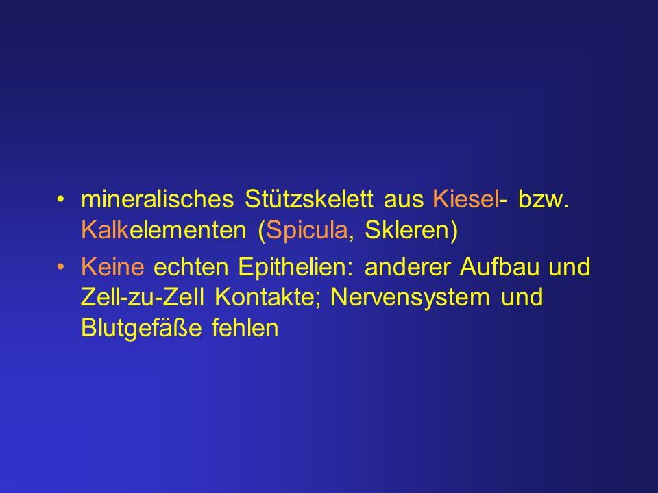 mineralisches Stützskelett aus Kiesel- bzw. Kalkelementen (Spicula, Skleren) Keine echten Epithelien: anderer Aufbau und Zell-zu-Zell Kontakte; Nerven