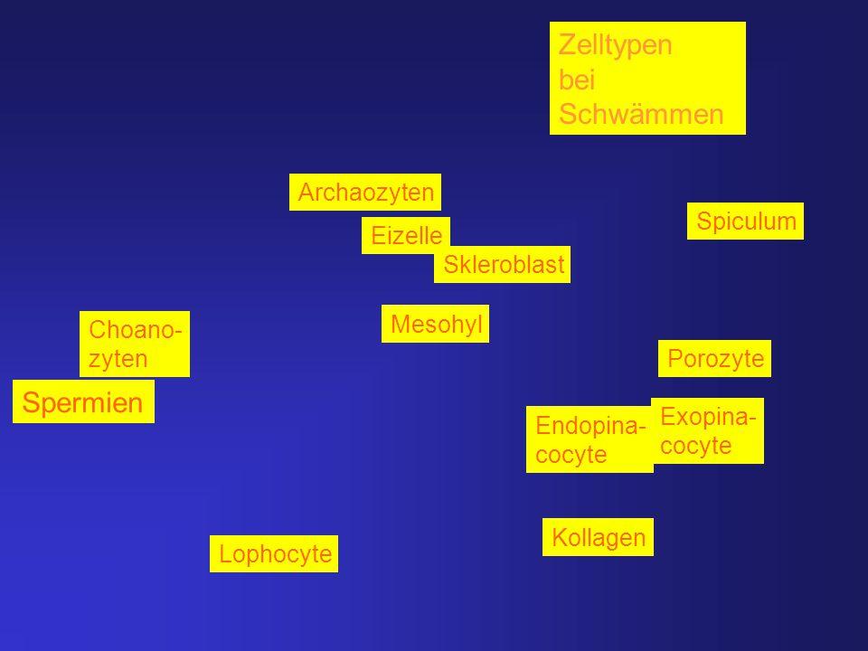 Lophocyte Kollagen Spiculum Archaozyten Choano- zyten Porozyte Exopina- cocyte Endo- Zelltypen bei Schwämmen Skleroblast Eizelle Mesohyl Endopina- coc