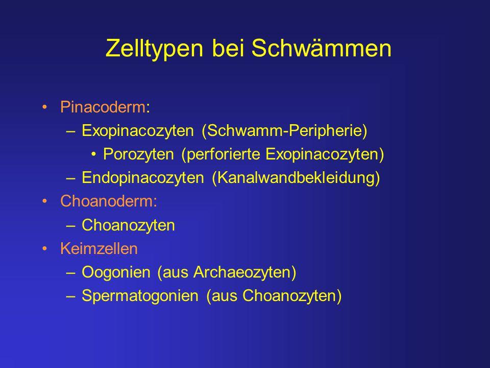 Zelltypen bei Schwämmen Pinacoderm: –Exopinacozyten (Schwamm-Peripherie) Porozyten (perforierte Exopinacozyten) –Endopinacozyten (Kanalwandbekleidung)