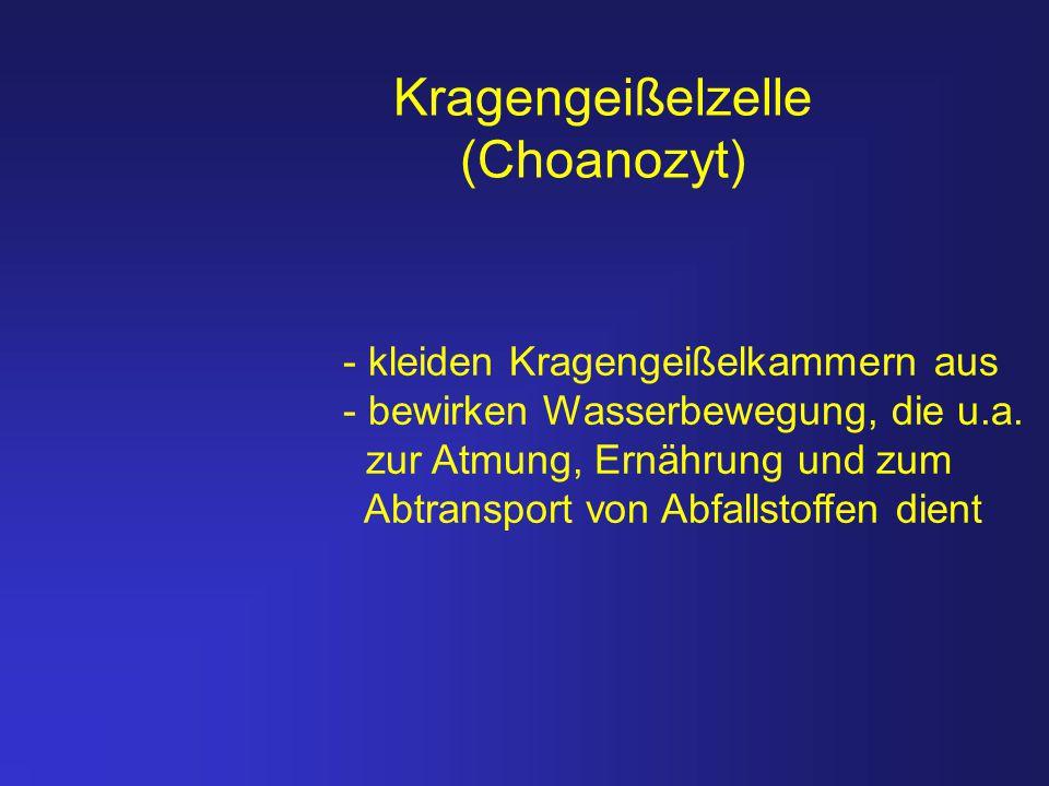 Kragengeißelzelle (Choanozyt) - kleiden Kragengeißelkammern aus - bewirken Wasserbewegung, die u.a. zur Atmung, Ernährung und zum Abtransport von Abfa