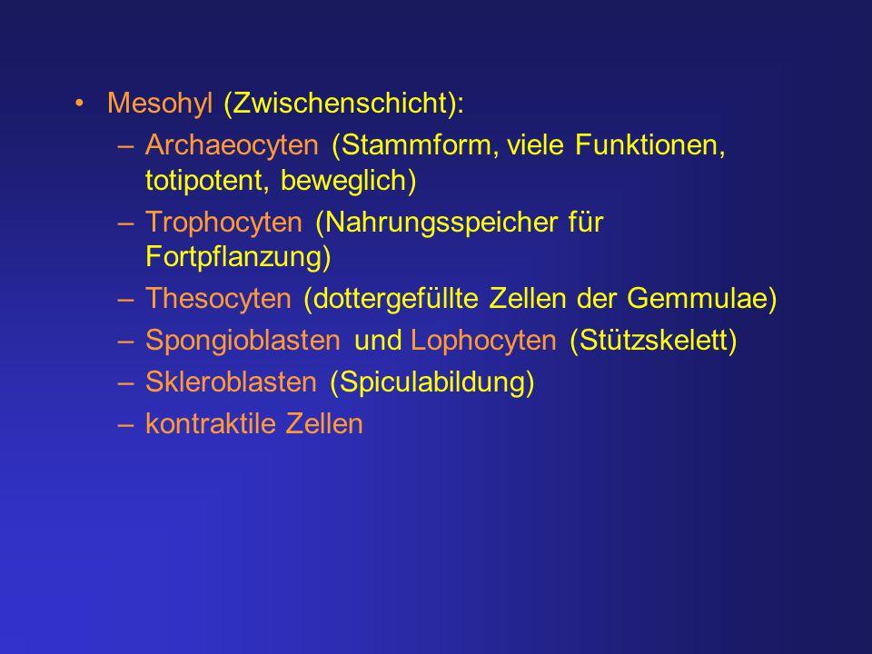Mesohyl (Zwischenschicht): –Archaeocyten (Stammform, viele Funktionen, totipotent, beweglich) –Trophocyten (Nahrungsspeicher für Fortpflanzung) –Theso