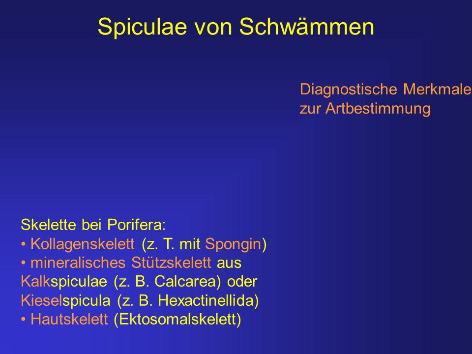 Spiculae von Schwämmen Diagnostische Merkmale zur Artbestimmung Skelette bei Porifera: Kollagenskelett (z. T. mit Spongin) mineralisches Stützskelett