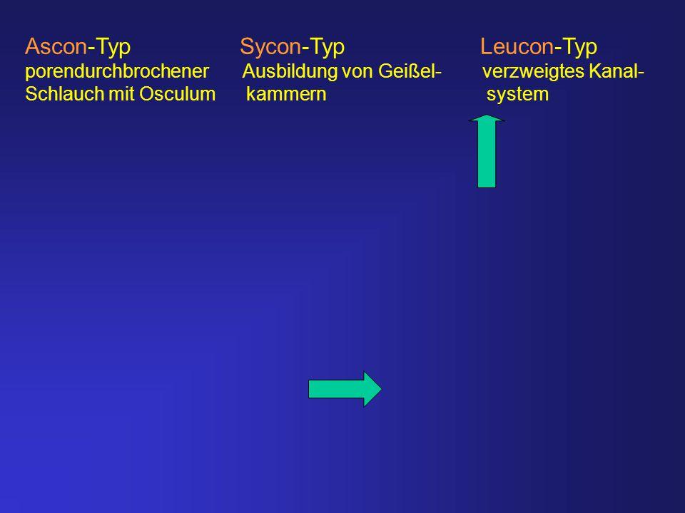 Ascon-Typ Sycon-Typ Leucon-Typ porendurchbrochener Ausbildung von Geißel- verzweigtes Kanal- Schlauch mit Osculum kammern system