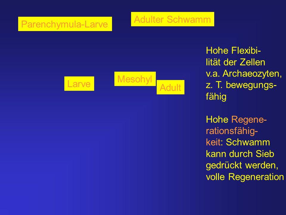 Parenchymula-Larve Adulter Schwamm Mesohyl Larve Adult Hohe Flexibi- lität der Zellen v.a. Archaeozyten, z. T. bewegungs- fähig Hohe Regene- rationsfä