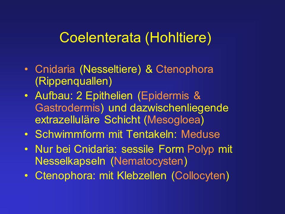 Coelenterata (Hohltiere) Cnidaria (Nesseltiere) & Ctenophora (Rippenquallen) Aufbau: 2 Epithelien (Epidermis & Gastrodermis) und dazwischenliegende ex