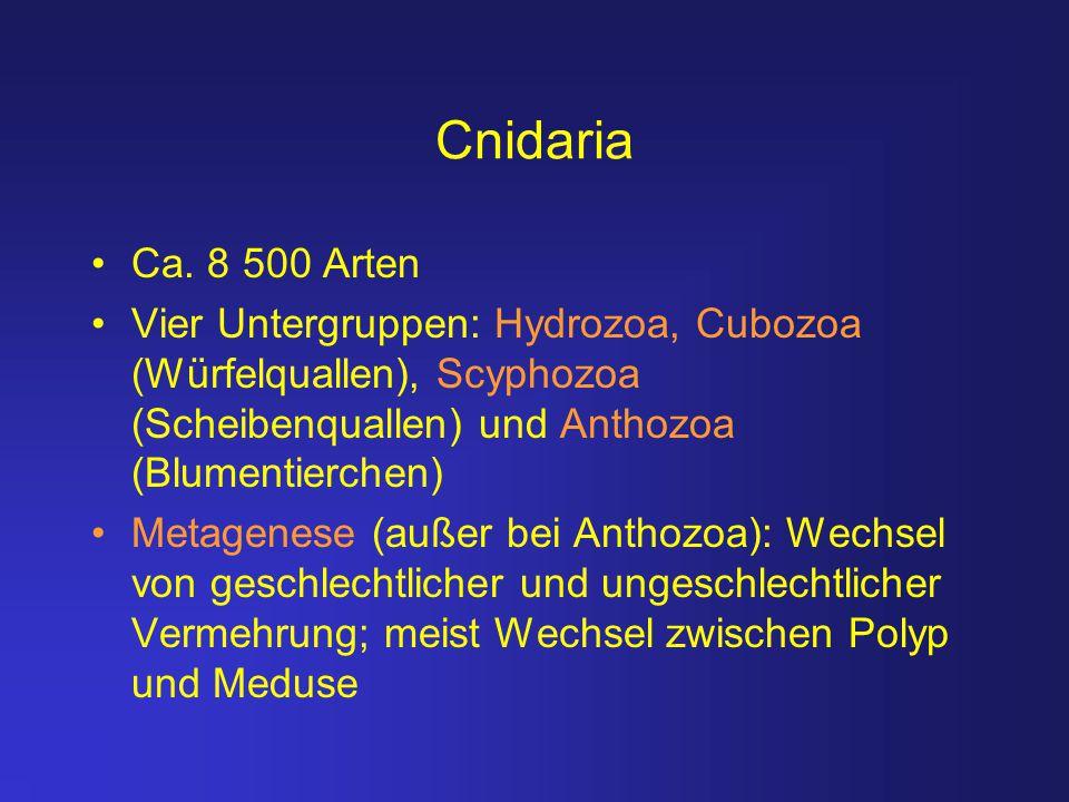 Cnidaria Ca. 8 500 Arten Vier Untergruppen: Hydrozoa, Cubozoa (Würfelquallen), Scyphozoa (Scheibenquallen) und Anthozoa (Blumentierchen) Metagenese (a