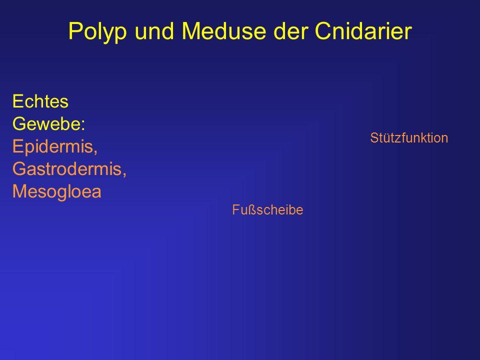 Polyp und Meduse der Cnidarier Echtes Gewebe: Epidermis, Gastrodermis, Mesogloea Stützfunktion Fußscheibe