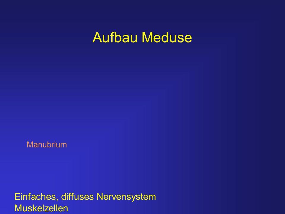 Aufbau Meduse Einfaches, diffuses Nervensystem Muskelzellen Manubrium
