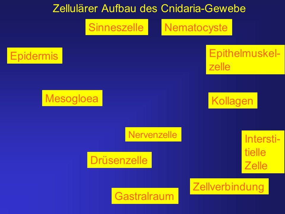 Zellulärer Aufbau des Cnidaria-Gewebe Mesogloea Nervenzelle Epidermis Drüsenzelle Intersti- tielle Zelle Nematocyste Sinneszelle Gastralraum Epithelmu