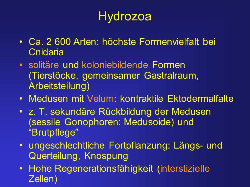Hydrozoa Ca. 2 600 Arten: höchste Formenvielfalt bei Cnidaria solitäre und koloniebildende Formen (Tierstöcke, gemeinsamer Gastralraum, Arbeitsteilung