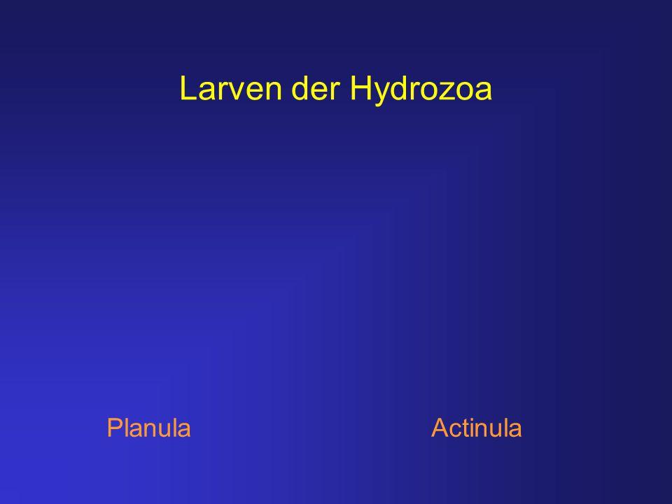 Larven der Hydrozoa Planula Actinula