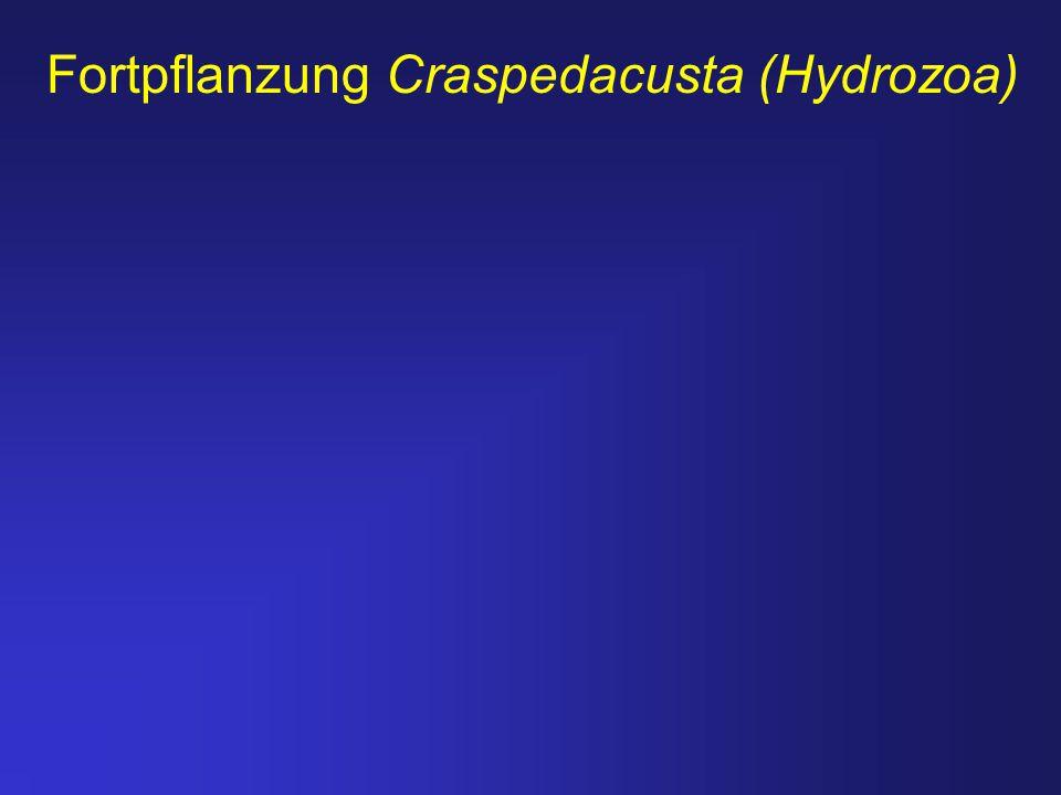 Fortpflanzung Craspedacusta (Hydrozoa)