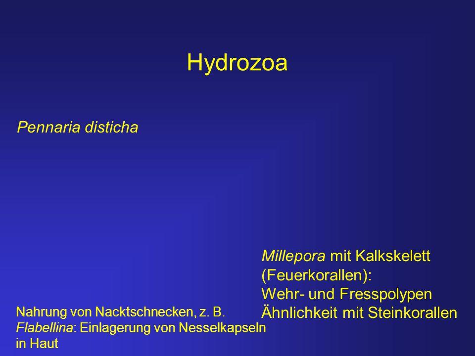 Hydrozoa Pennaria disticha Millepora mit Kalkskelett (Feuerkorallen): Wehr- und Fresspolypen Ähnlichkeit mit Steinkorallen Nahrung von Nacktschnecken,