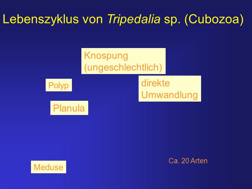 Lebenszyklus von Tripedalia sp. (Cubozoa) direkte Umwandlung Planula Knospung (ungeschlechtlich) Ca. 20 Arten Polyp Meduse