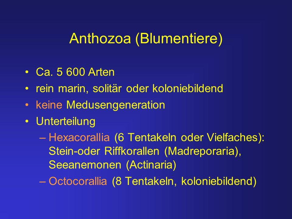 Anthozoa (Blumentiere) Ca. 5 600 Arten rein marin, solitär oder koloniebildend keine Medusengeneration Unterteilung –Hexacorallia (6 Tentakeln oder Vi