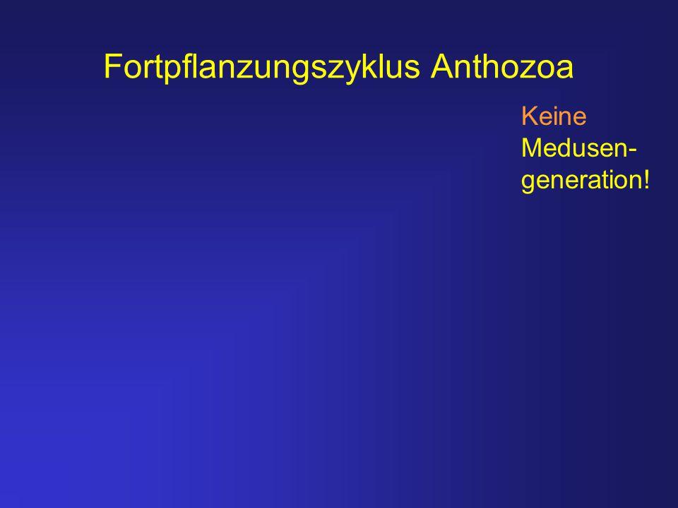 Fortpflanzungszyklus Anthozoa Keine Medusen- generation!