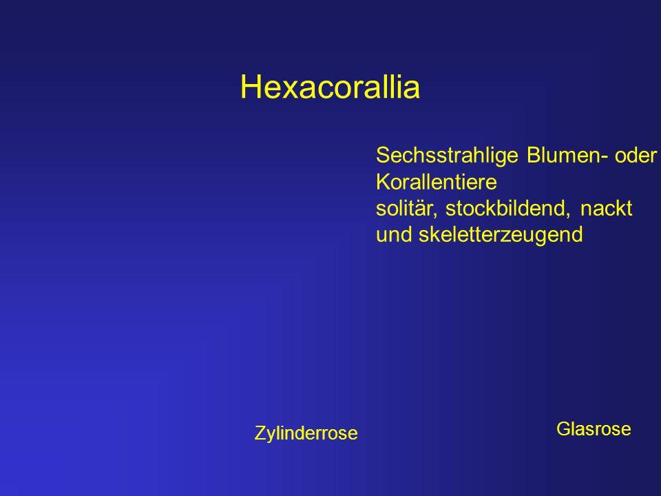 Hexacorallia Sechsstrahlige Blumen- oder Korallentiere solitär, stockbildend, nackt und skeletterzeugend Zylinderrose Glasrose