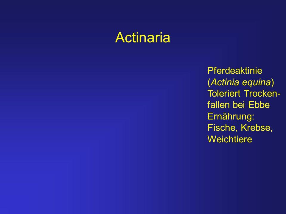 Actinaria Pferdeaktinie (Actinia equina) Toleriert Trocken- fallen bei Ebbe Ernährung: Fische, Krebse, Weichtiere