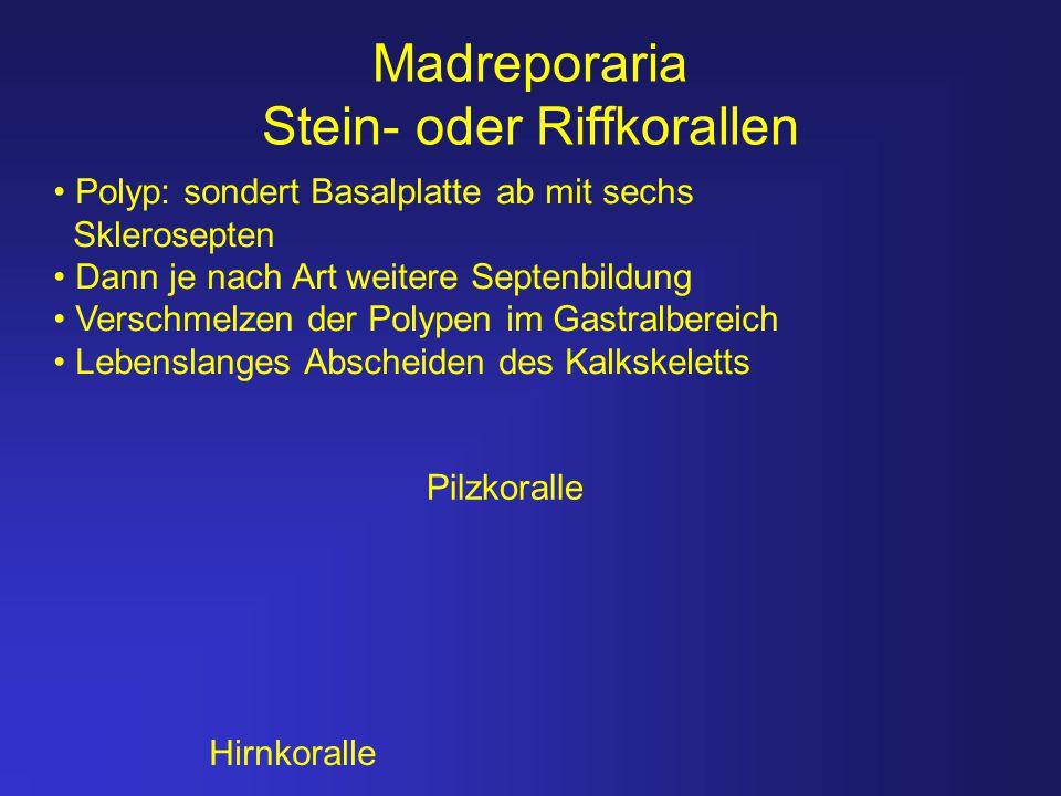 Madreporaria Stein- oder Riffkorallen Pilzkoralle Hirnkoralle Polyp: sondert Basalplatte ab mit sechs Sklerosepten Dann je nach Art weitere Septenbild