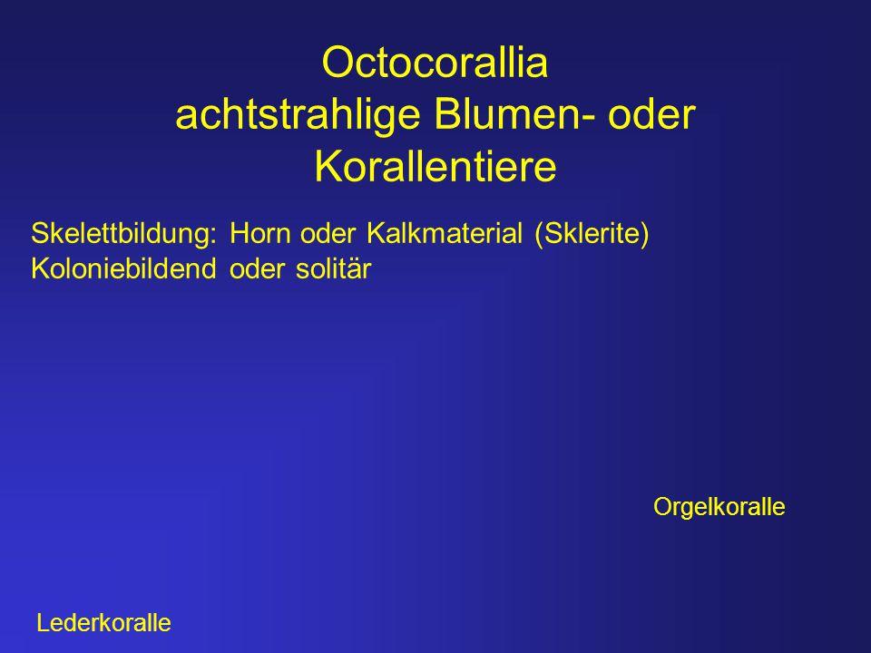 Octocorallia achtstrahlige Blumen- oder Korallentiere Skelettbildung: Horn oder Kalkmaterial (Sklerite) Koloniebildend oder solitär Orgelkoralle Leder