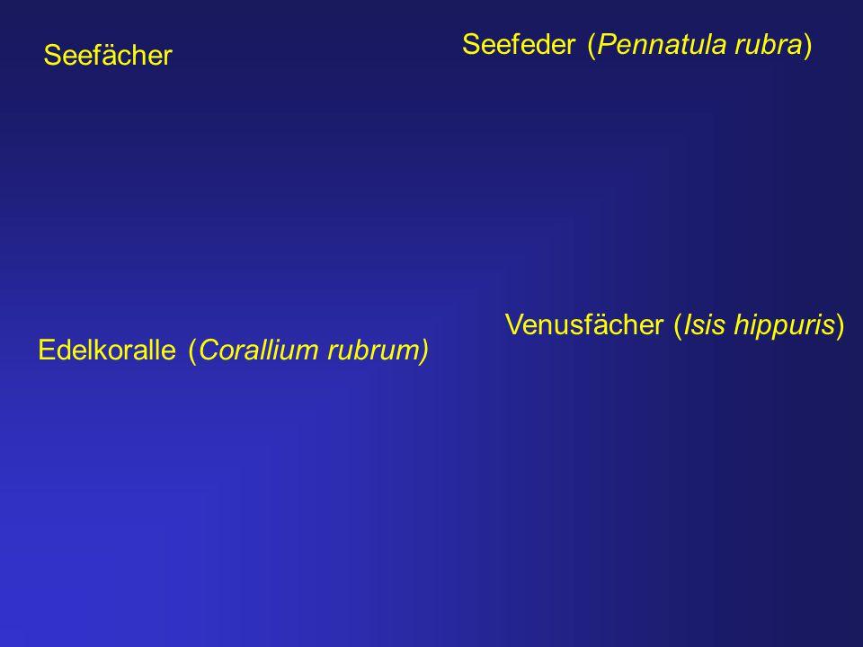 Seefeder (Pennatula rubra) Edelkoralle (Corallium rubrum) Seefächer Venusfächer (Isis hippuris)