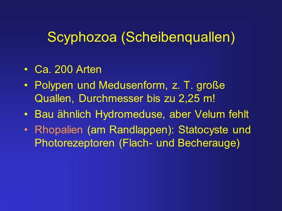 Scyphozoa (Scheibenquallen) Ca. 200 Arten Polypen und Medusenform, z. T. große Quallen, Durchmesser bis zu 2,25 m! Bau ähnlich Hydromeduse, aber Velum