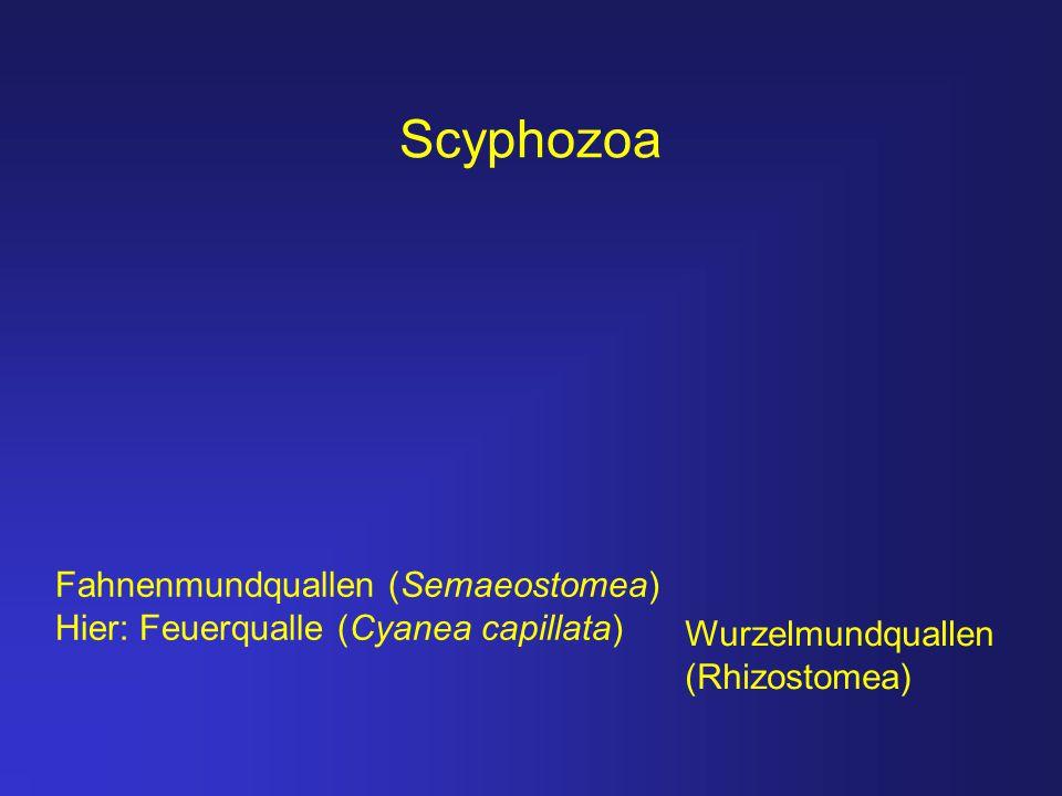Scyphozoa Wurzelmundquallen (Rhizostomea) Fahnenmundquallen (Semaeostomea) Hier: Feuerqualle (Cyanea capillata)