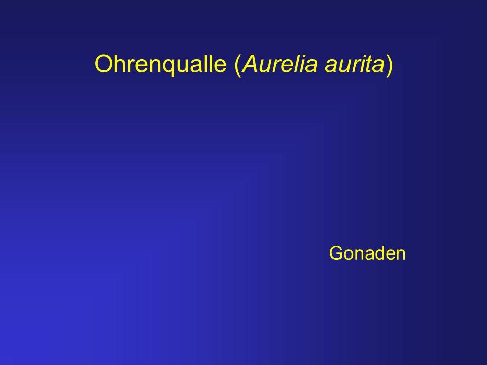 Ohrenqualle (Aurelia aurita) Gonaden