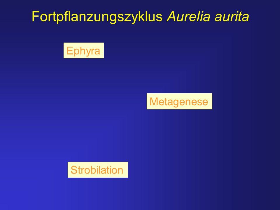 Strobilation Fortpflanzungszyklus Aurelia aurita Metagenese Ephyra