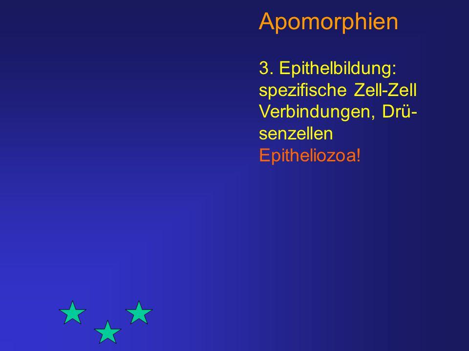Apomorphien 3. Epithelbildung: spezifische Zell-Zell Verbindungen, Drü- senzellen Epitheliozoa!
