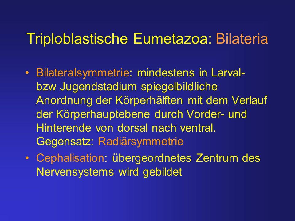 Triploblastische Eumetazoa: Bilateria Bilateralsymmetrie: mindestens in Larval- bzw Jugendstadium spiegelbildliche Anordnung der Körperhälften mit dem