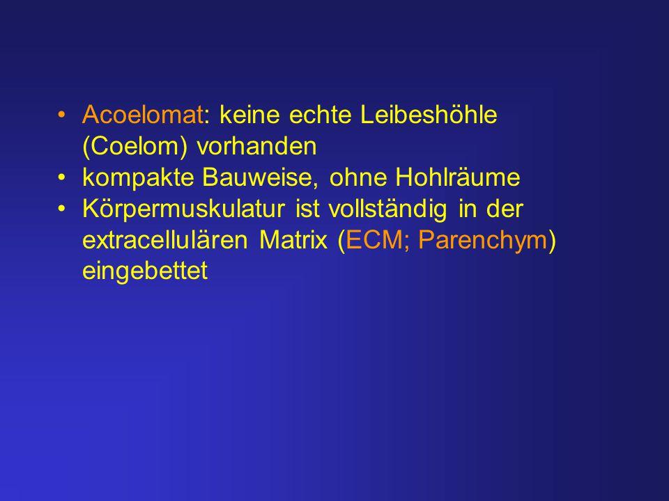 Acoelomat: keine echte Leibeshöhle (Coelom) vorhanden kompakte Bauweise, ohne Hohlräume Körpermuskulatur ist vollständig in der extracellulären Matrix