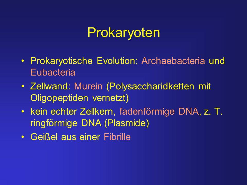 Prokaryoten Prokaryotische Evolution: Archaebacteria und Eubacteria Zellwand: Murein (Polysaccharidketten mit Oligopeptiden vernetzt) kein echter Zell