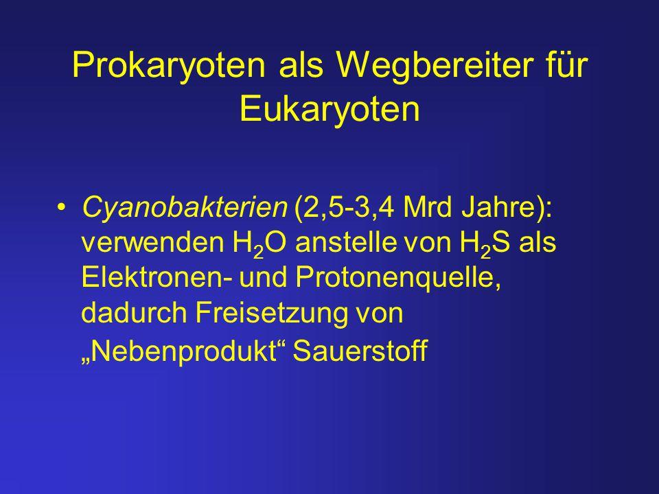 Prokaryoten als Wegbereiter für Eukaryoten Cyanobakterien (2,5-3,4 Mrd Jahre): verwenden H 2 O anstelle von H 2 S als Elektronen- und Protonenquelle,
