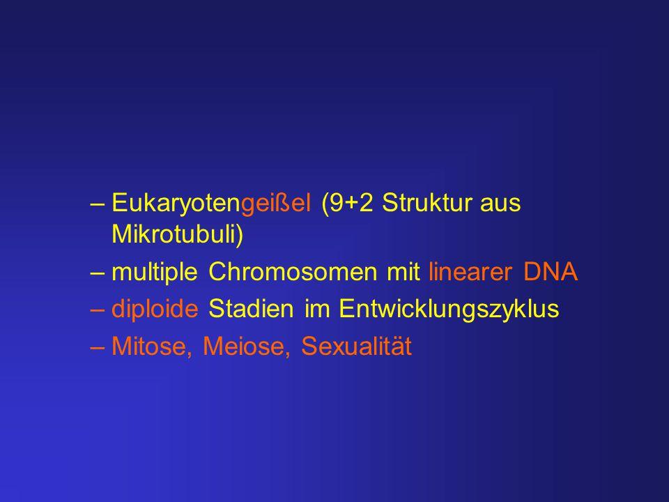 –Eukaryotengeißel (9+2 Struktur aus Mikrotubuli) –multiple Chromosomen mit linearer DNA –diploide Stadien im Entwicklungszyklus –Mitose, Meiose, Sexua