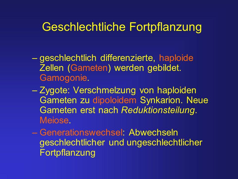 –geschlechtlich differenzierte, haploide Zellen (Gameten) werden gebildet. Gamogonie. –Zygote: Verschmelzung von haploiden Gameten zu dipoloidem Synka