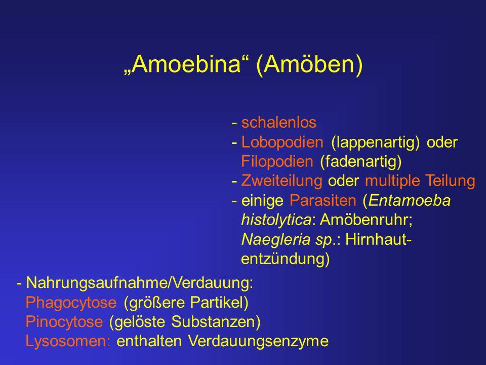 """""""Amoebina"""" (Amöben) - schalenlos - Lobopodien (lappenartig) oder Filopodien (fadenartig) - Zweiteilung oder multiple Teilung - einige Parasiten (Entam"""