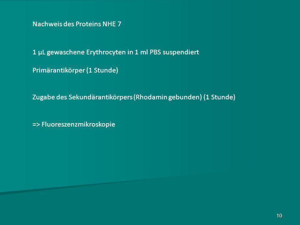 10 Nachweis des Proteins NHE 7 1 µL gewaschene Erythrocyten in 1 ml PBS suspendiert Primärantikörper (1 Stunde) Zugabe des Sekundärantikörpers (Rhodam