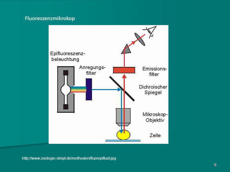 10 Nachweis des Proteins NHE 7 1 µL gewaschene Erythrocyten in 1 ml PBS suspendiert Primärantikörper (1 Stunde) Zugabe des Sekundärantikörpers (Rhodamin gebunden) (1 Stunde) => Fluoreszenzmikroskopie