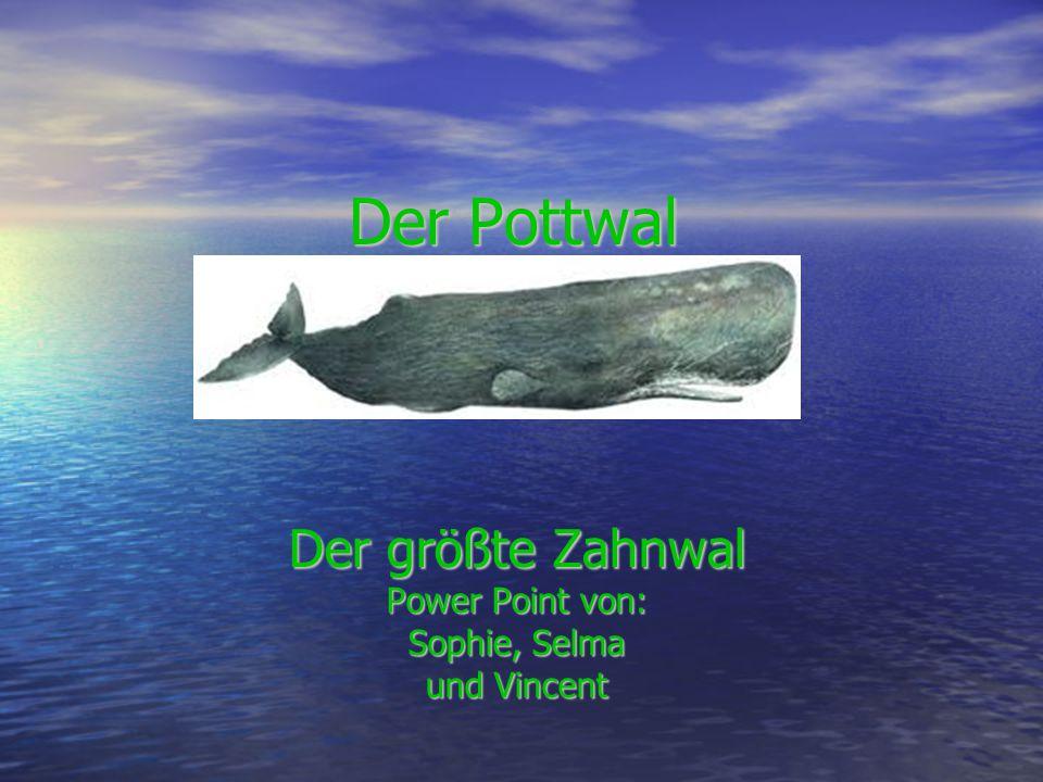 Der Pottwal Der größte Zahnwal Power Point von: Sophie, Selma und Vincent
