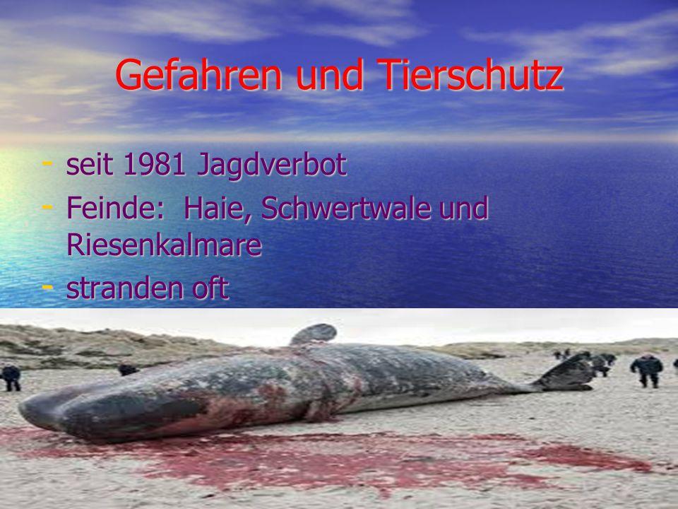 Gefahren und Tierschutz - seit 1981 Jagdverbot - Feinde: Haie, Schwertwale und Riesenkalmare - stranden oft