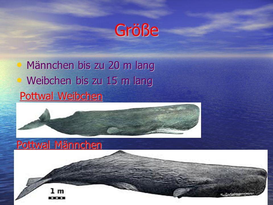 Größe Männchen bis zu 20 m lang Männchen bis zu 20 m lang Weibchen bis zu 15 m lang Weibchen bis zu 15 m lang Pottwal Weibchen Pottwal Weibchen Pottwal Männchen