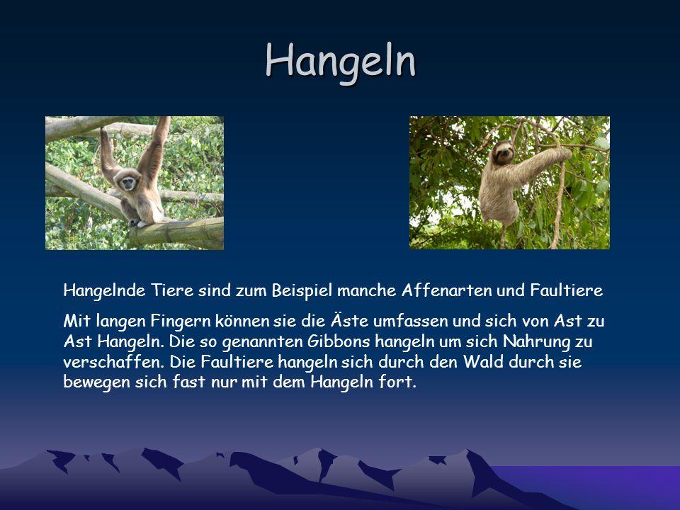 Hangeln Hangelnde Tiere sind zum Beispiel manche Affenarten und Faultiere Mit langen Fingern können sie die Äste umfassen und sich von Ast zu Ast Hangeln.