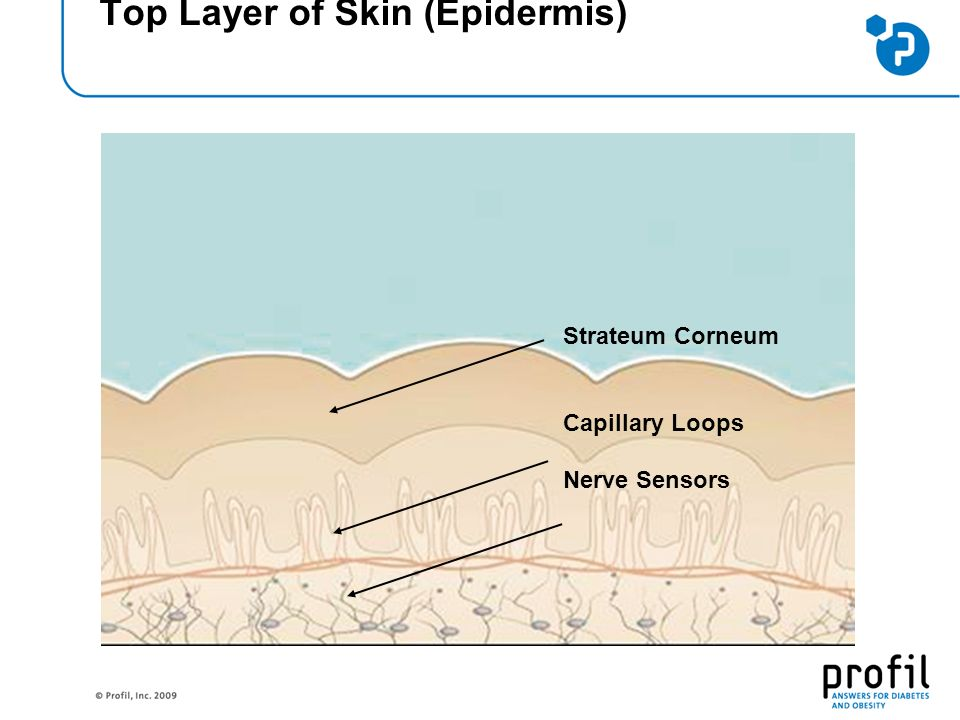 Top Layer of Skin (Epidermis) Strateum Corneum Capillary Loops Nerve Sensors