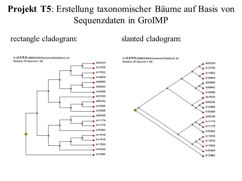 Projekt T5: Erstellung taxonomischer Bäume auf Basis von Sequenzdaten in GroIMP slanted cladogram:rectangle cladogram: