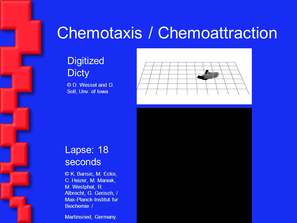 Chemotaxis / Chemoattraction Digitized Dicty © D. Wessel and D.
