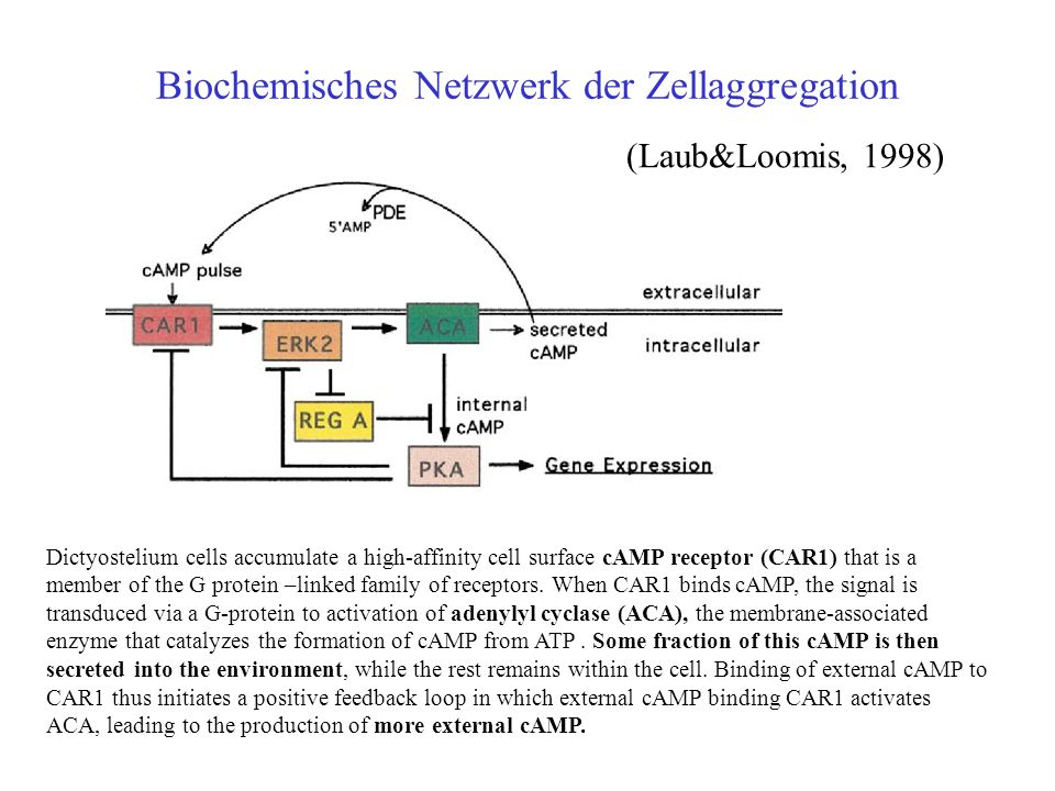 Biochemisches Netzwerk der Zellaggregation (Laub&Loomis, 1998) Dictyostelium cells accumulate a high-affinity cell surface cAMP receptor (CAR1) that is a member of the G protein –linked family of receptors.